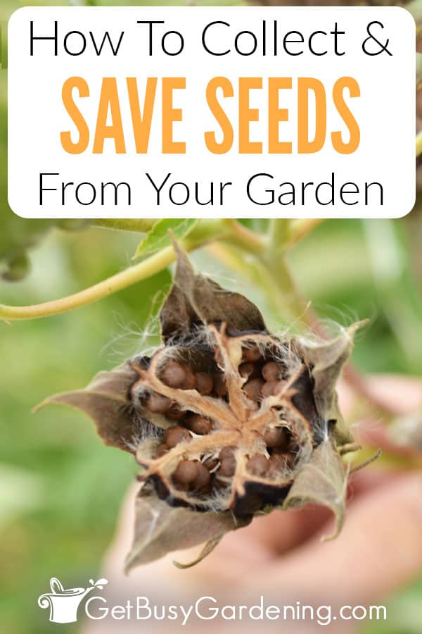 How To Collect & Save Seeds From Your Garden