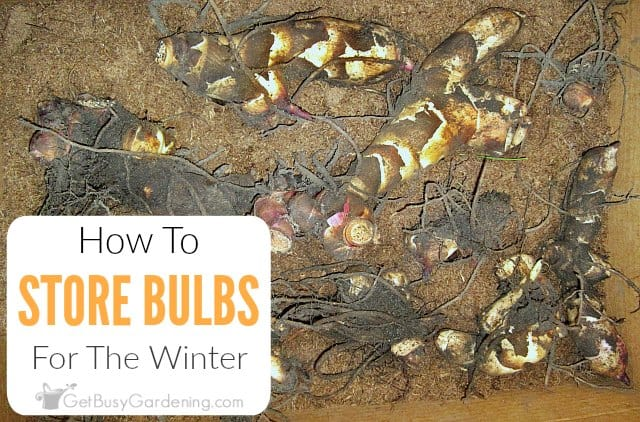 How To Store Bulbs For The Winter