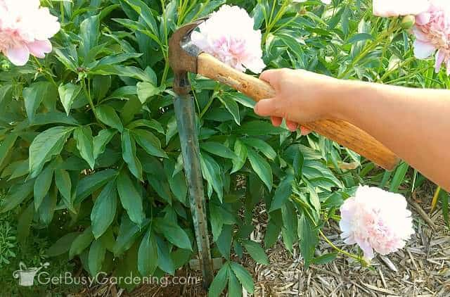 DIY plant support frame using tall plant stakes for large peony bush