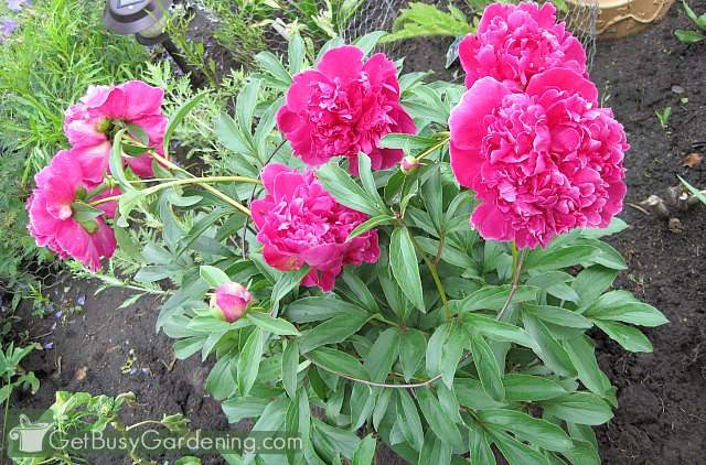 Stop peonies from falling over using a peony support frame
