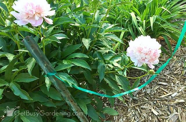 Using plastic ties to make plant supports for peonies