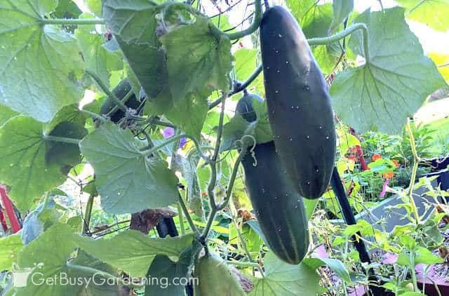 Cucumbers dangling down from the vertical support