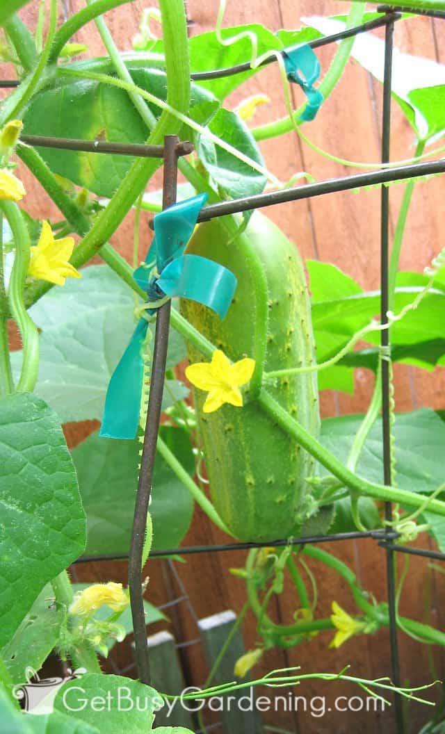 Using garden fencing to trellis cucumbers