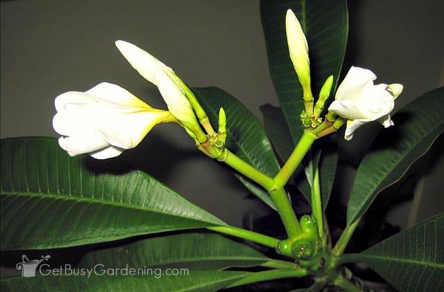 White plumeria flowers starting to open