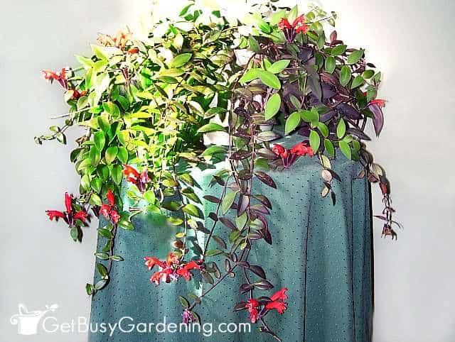 Red lipstick plant aeschynanthus radicans