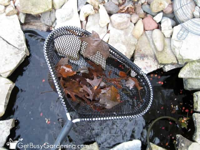 Using my skimmer net to remove leaves from my pond