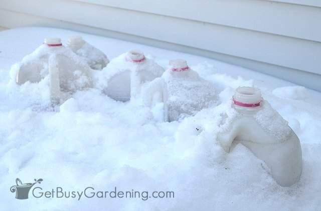 Winter sown milk jugs under the snow