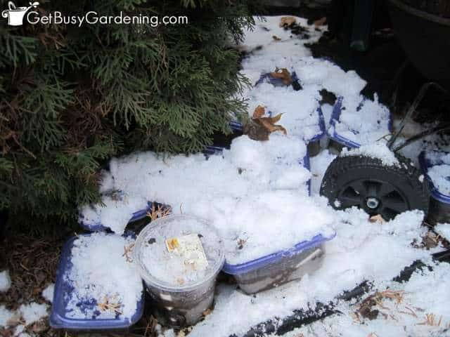 Winter sowing containers covered by snow