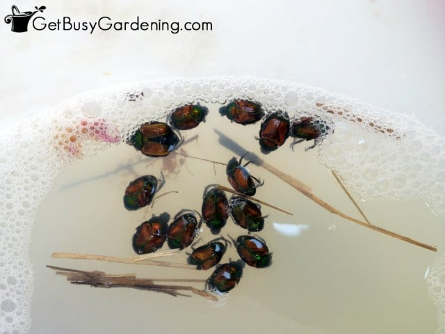 Using soapy water to kill Japanese beetles