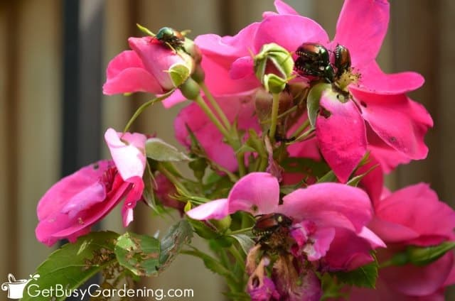 Japanese beetles on roses