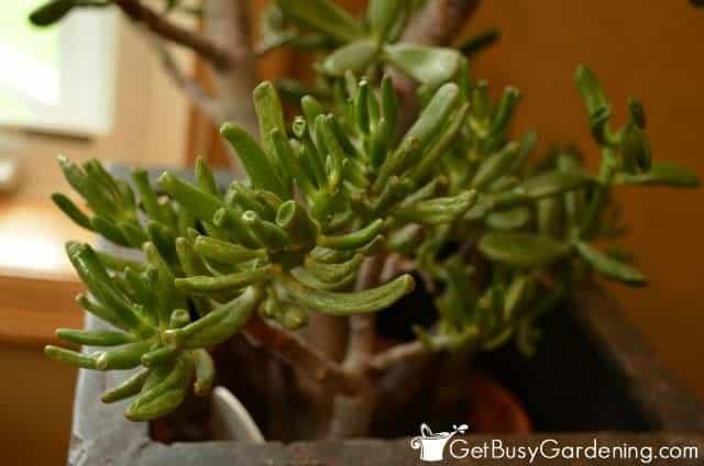 Gollum variety of jade houseplants (Crassula Ovata)