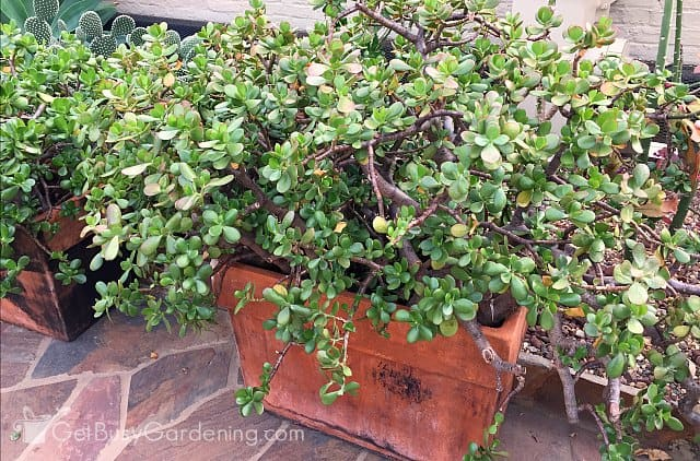 Huge jade indoor succulent plants (Crassula Ovata)