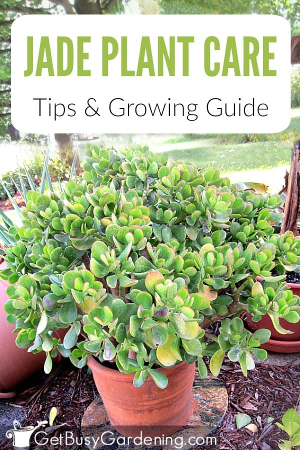 Jade Plant Care Tips & Growing Guide