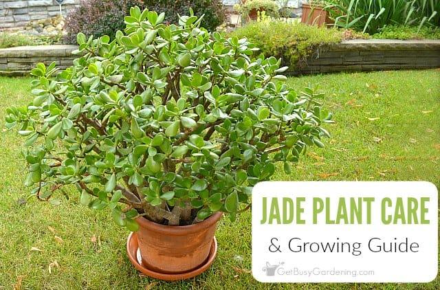 Jade Plant (Crassula Ovata) Care Tips: How To Care For Jade Plants