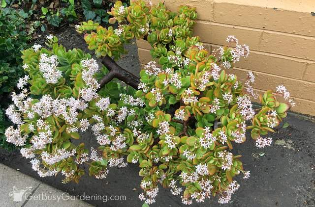 Jade plant flowering during the winter