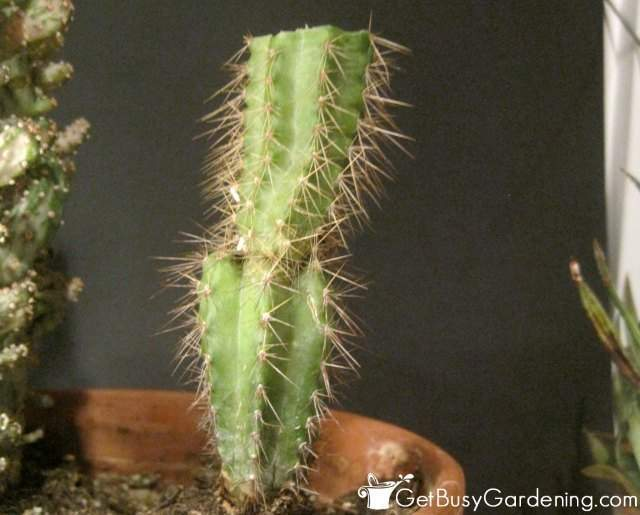 My cactus after all of the tip rot has been removed