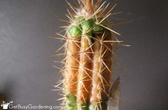My cactus turning brown on top from cactus tip rot