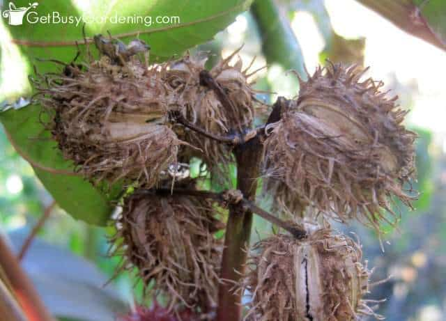 Castor bean seed pods ready to harvest