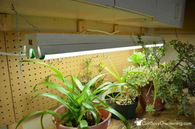 Winter plant care - My houseplants under fluorescent lights for winter