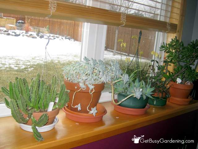 Houseplants growing on window ledge through the winter