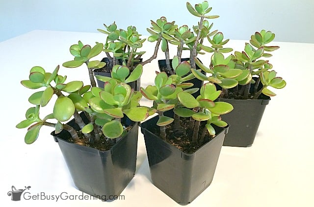 Planting propagated succulents in starter pots