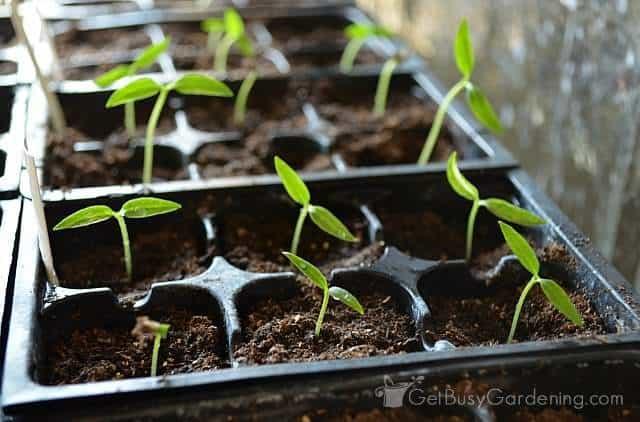Baby pepper seedlings germinating