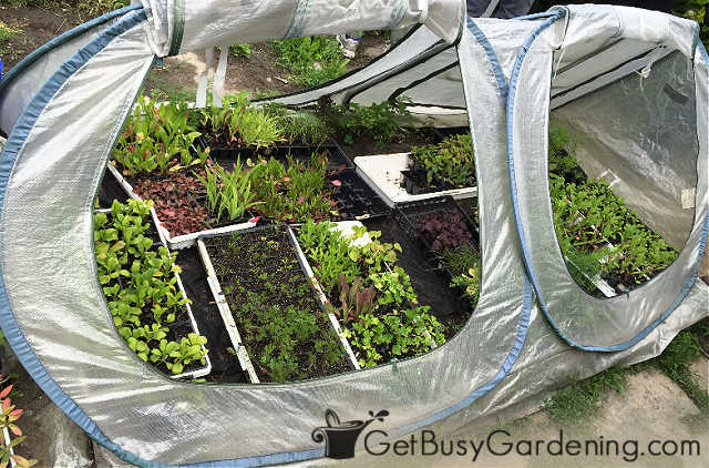 Plastic cold frame being used to protect seedlings