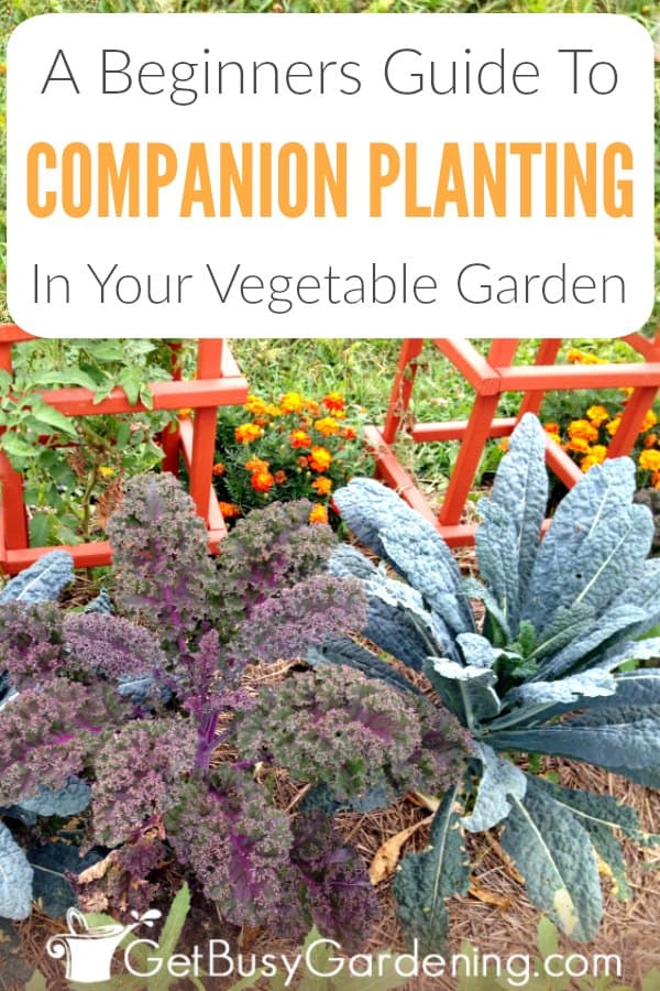 Companion planting is a way of pairing the best vegetables to grow together, that benefit each other in different ways. Learn more about vegetable plants that grow well together in this companion planting guide for beginners. Includes a list of beneficial plant pairings you can use in your garden right away.