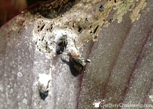 Using eggshell powder on Japanese beetles