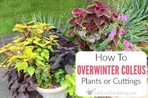 How To Overwinter Coleus Plants Indoors