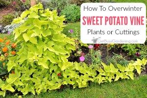 Overwintering Sweet Potato Vine Indoors (Plants, Tubers, Or Cuttings)