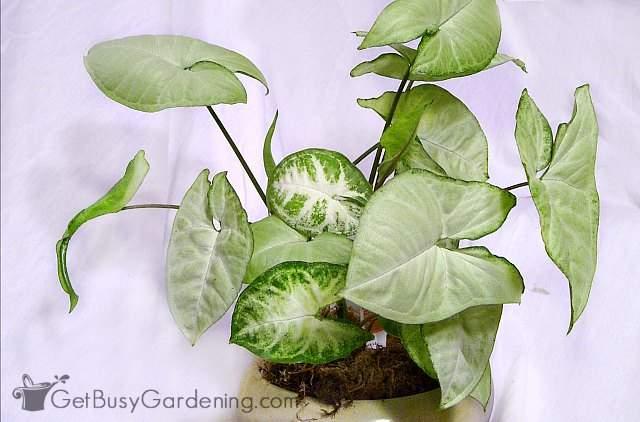Arrowhead vines are good houseplants that need very little light