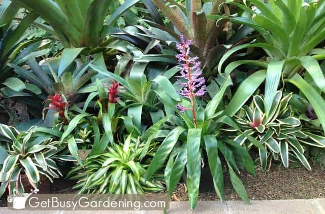 Bromeliads are colorful plants