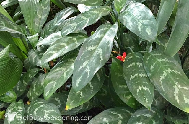 Chinese evergreen indoor plants that need little sunlight