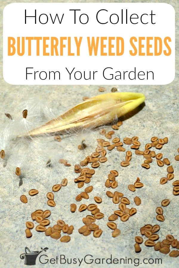 How To Collect Butterfly Weed Seeds From Your Garden