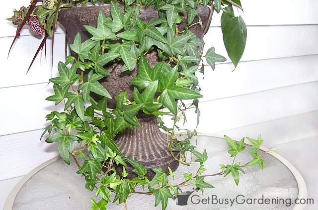 Indoor vines ivy houseplants