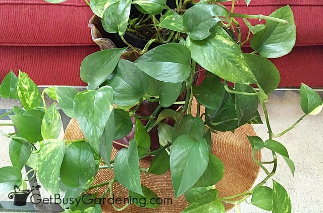 Pothos are one of the best indoor plants that need little sun