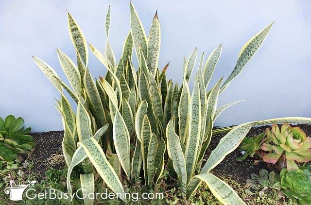 Snake plant low maintenance plants