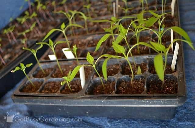 Seedlings growing indoors in starter trays