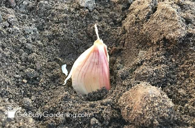Garlic clove planted in the garden