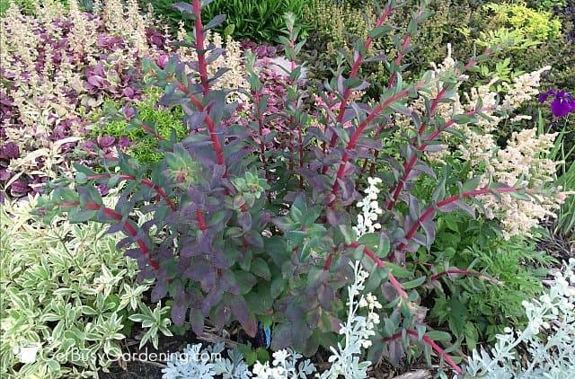 Colorful foliage perennials