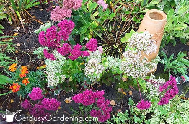 Fall blooming garden perennials