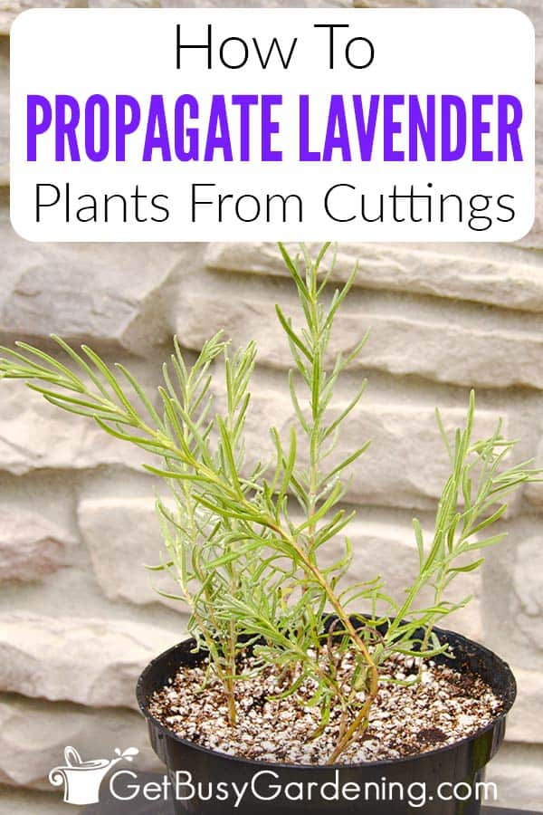 How To Propagate Lavender Plants From Cuttings