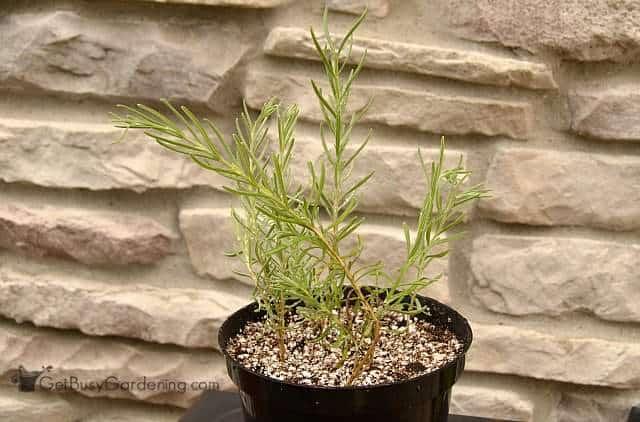 Propagating lavender in soil