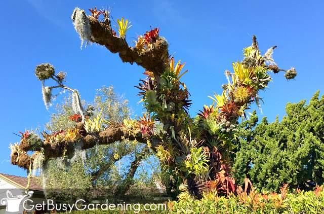 Amazing epiphytic bromeliad tree