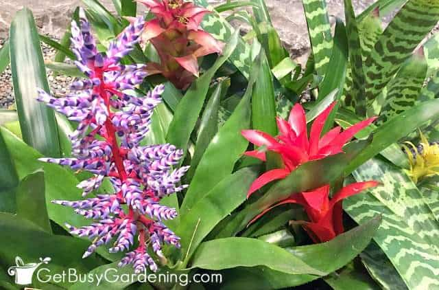 Different types of bromeliads, one with purple & white flower, one with a red flower spike