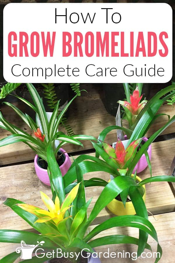 How To Grow Bromeliads Complete Care Guide