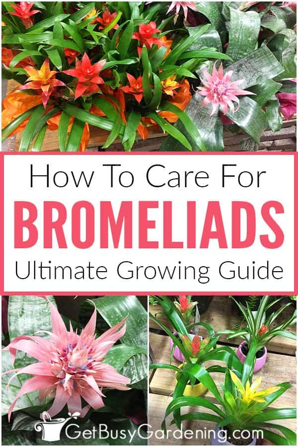 How To Care For Bromeliads: Ultimate Growing Guide