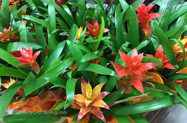 A colorful collection of bromeliad plants in bloom