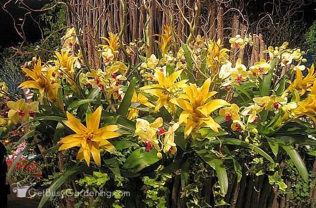 Gorgeous yellow bromeliads